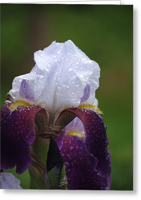 Morning Dew Iris Greeting Card by Rebecca Overton