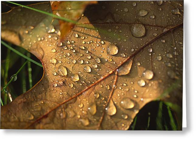 Morning Dew On Oak Leaf Greeting Card