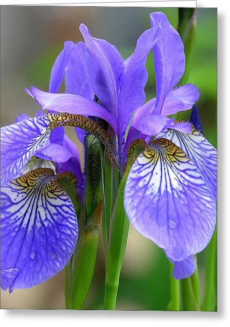 Morning Dew On Siberian Iris Greeting Card by Anne Gordon