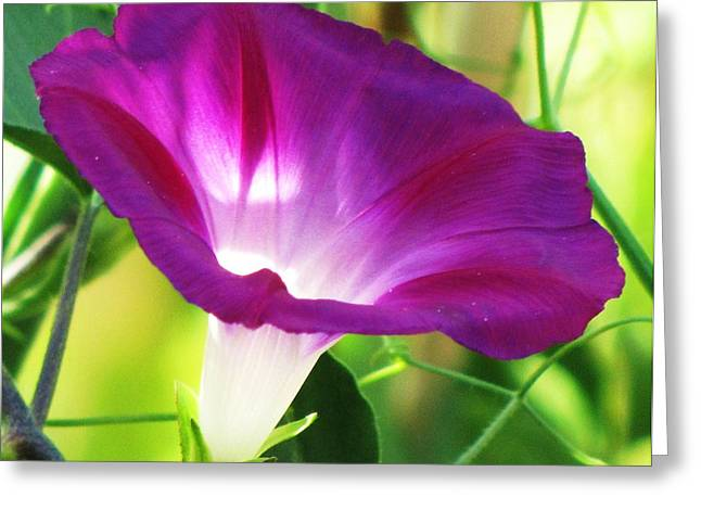 Greeting Card featuring the photograph Morning Glory by Michele Penner