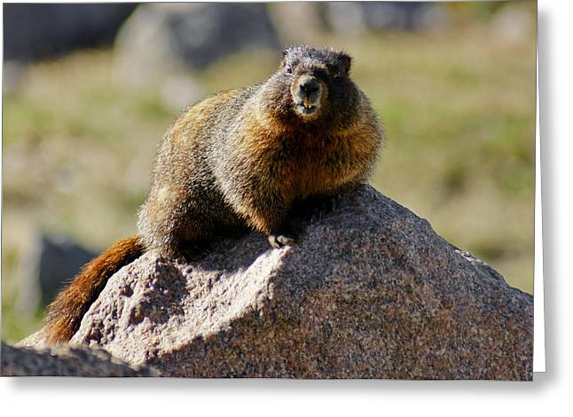 Morning Marmot Greeting Card