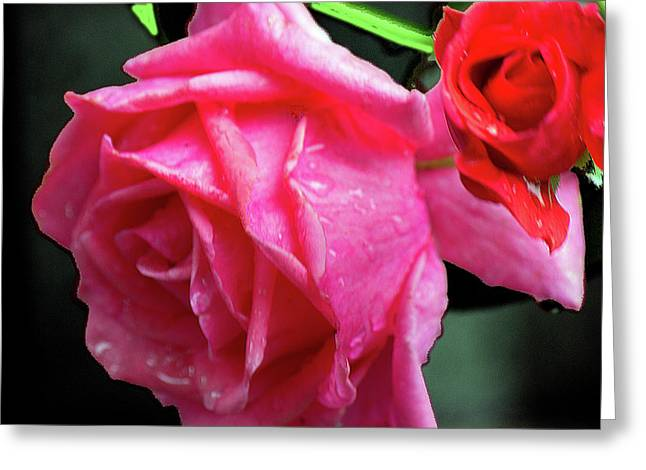 Morning Rose Greeting Card by Barry Jones