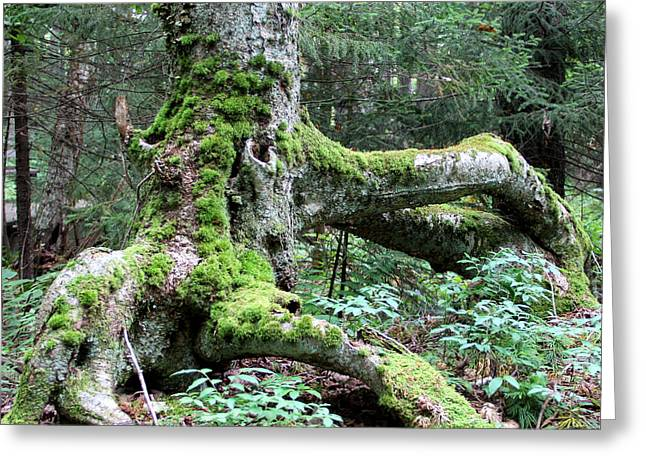 Moss Covered Tree Roots Greeting Card
