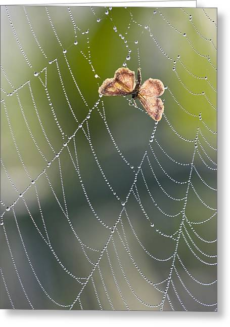 Moth In Spiderweb, Bavaria, Germany Greeting Card