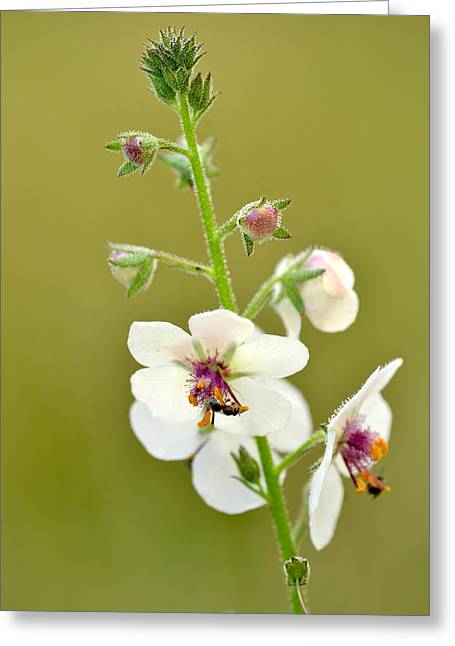 Greeting Card featuring the photograph Moth Mullein by JD Grimes