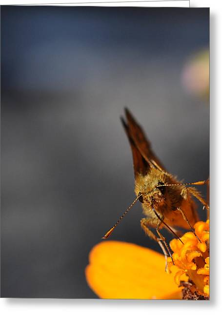 Greeting Card featuring the photograph Moth On A Zinnia Blossom by Ronda Broatch
