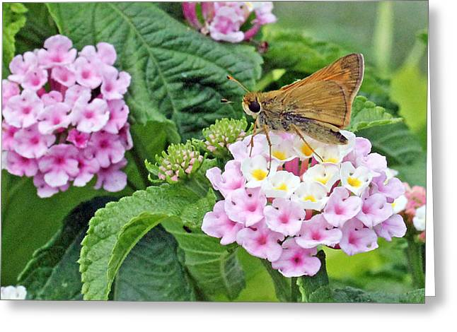 Moth On Lantana Greeting Card by Becky Lodes