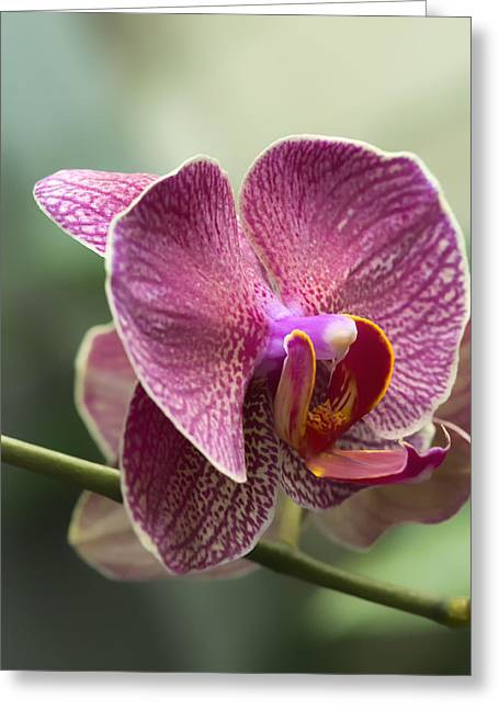 Moth Orchid Curvation Greeting Card by Bill Tiepelman