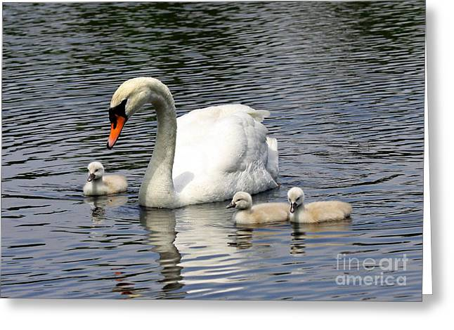 Mother And Baby Swans Out For A Sunday Stroll Greeting Card