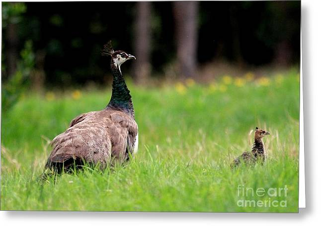Mother And Child . Peacocks . 40d9016 Greeting Card by Wingsdomain Art and Photography