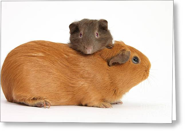 Mother Guinea Pig With Baby Guinea Pig Greeting Card by Mark Taylor