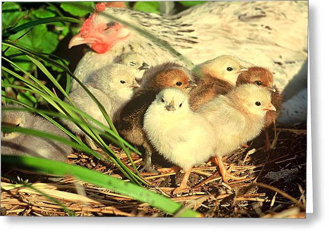 Mother Hen And Young Greeting Card