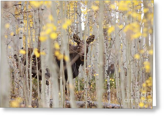 Mother Moose In The Aspens Greeting Card