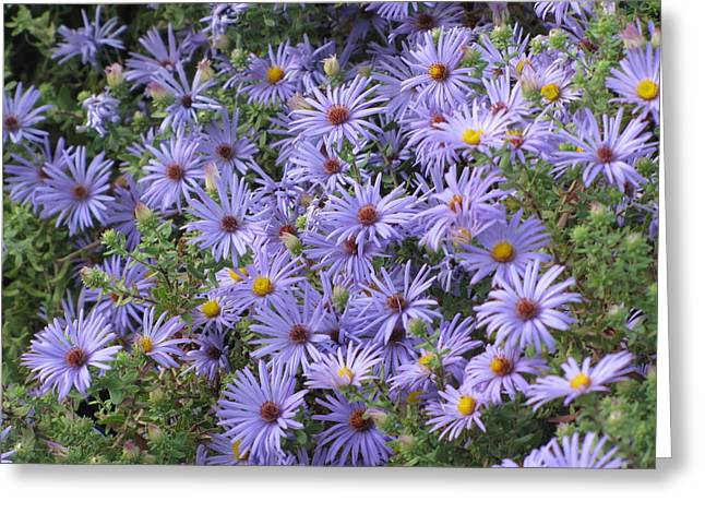 Greeting Card featuring the photograph Mother's Asters by Shawn Hughes