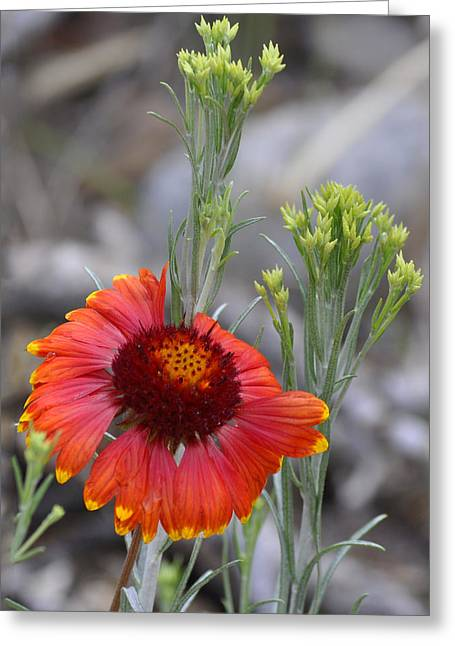 Mount Charleston Wildflowers Greeting Card by Sandra Welpman