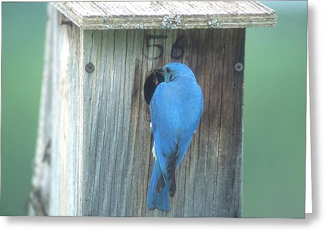 Mountain Bluebird Feeding Young Greeting Card