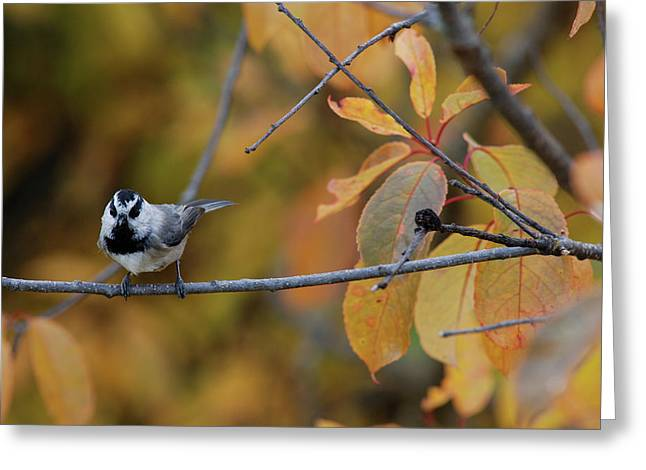 Mountain Chickadee 1 Greeting Card