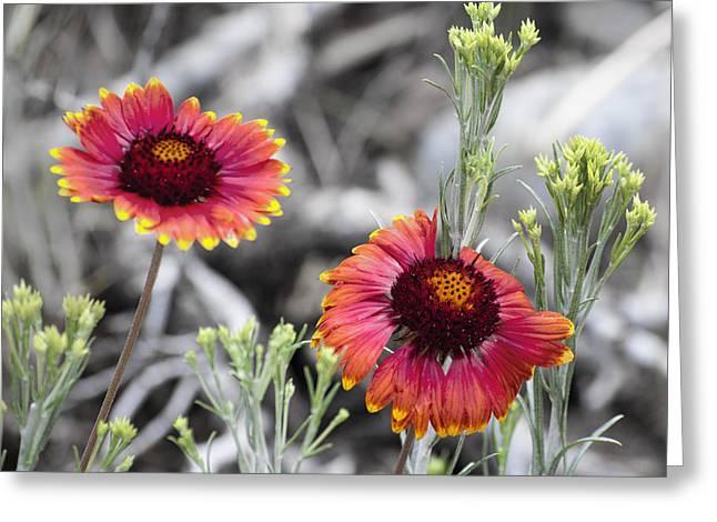 Mountain Flower 2 Greeting Card by Sandra Welpman