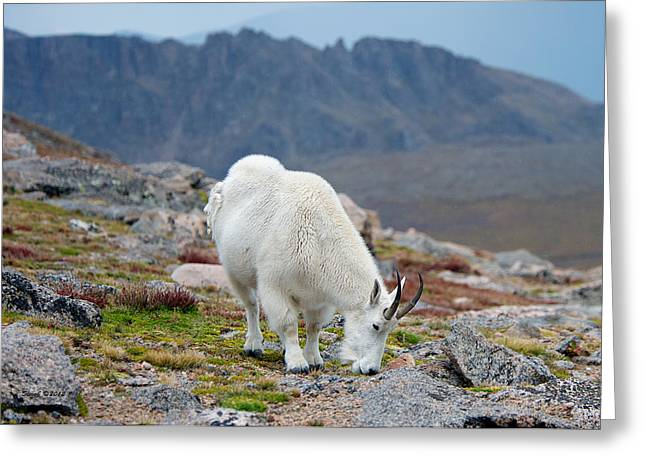 Mountain Goat Grazing Greeting Card by Stephen  Johnson