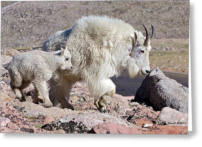 Mountain Goat Momma With Kid Greeting Card by Stephen  Johnson