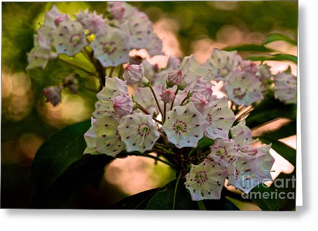 Mountain Laurel Flowers 2 Greeting Card
