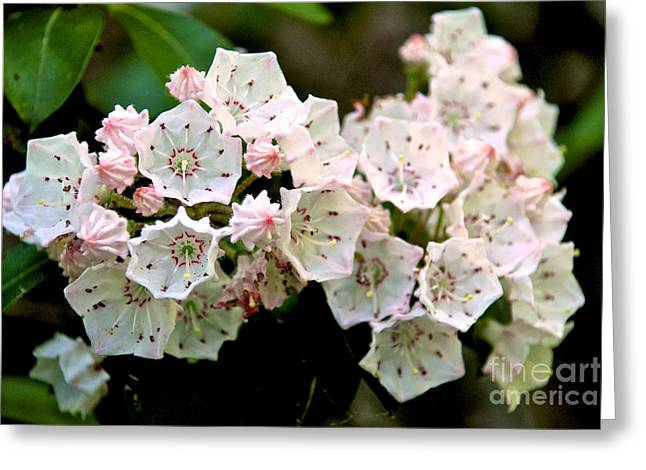 Mountain Laurel Flowers Greeting Card