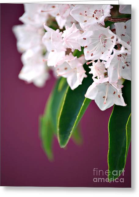 Mountain Laurel Greeting Card by HD Connelly