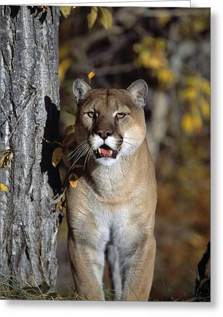 Mountain Lion Greeting Card by Natural Selection David Ponton