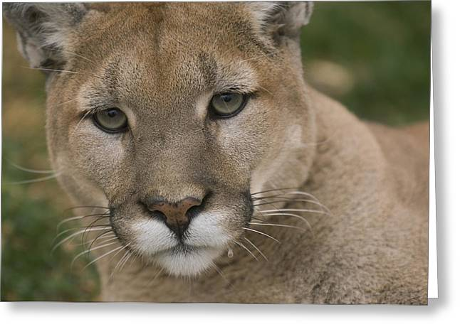 Mountain Lion, Or Puma Puma Concolor Greeting Card by Joel Sartore