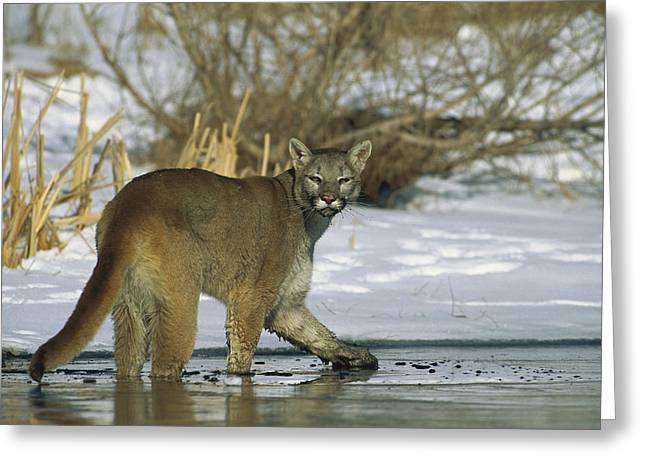 Mountain Lion Puma Concolor In Frozen Greeting Card