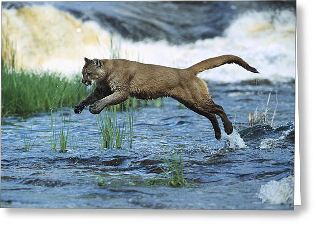 Mountain Lion Puma Concolor Leaping Greeting Card by Konrad Wothe