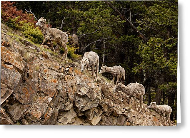 Mountain Sheep 1668 Greeting Card by Larry Roberson