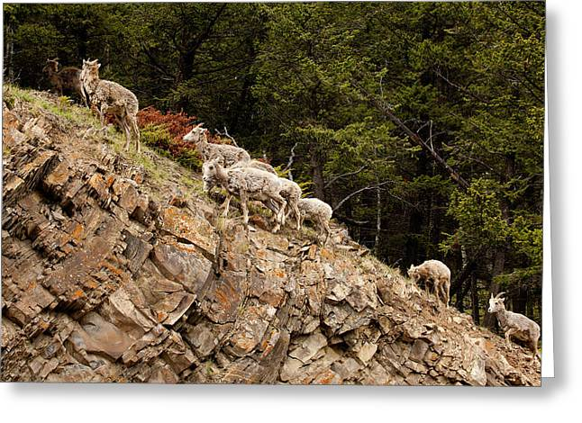 Mountain Sheep 1670 Greeting Card by Larry Roberson