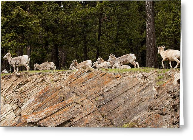 Mountain Sheep 1673 Greeting Card by Larry Roberson