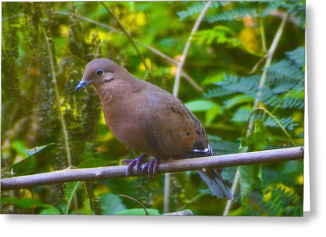 Mourning Dove Cooling Out Greeting Card by David Alexander