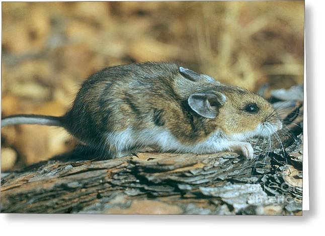 Mouse On A Log Greeting Card by Photo Researchers, Inc.