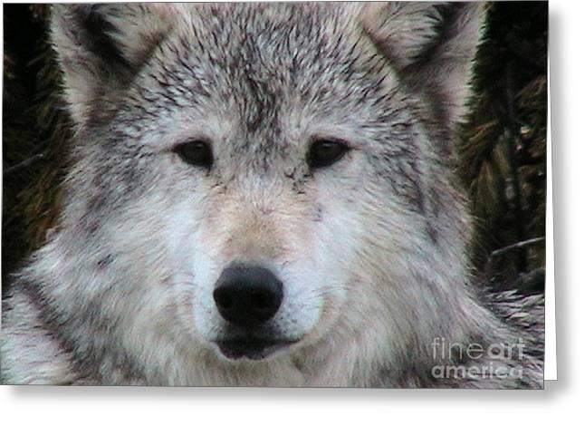 Mr. Alpha Montana Wolf Greeting Card