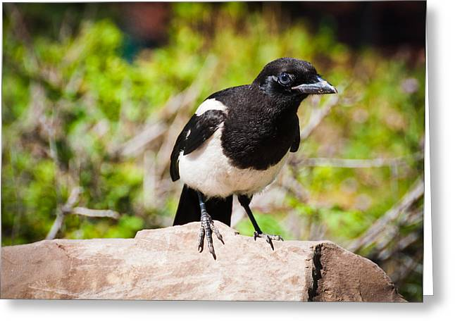 Greeting Card featuring the photograph Mr. Magpie by Cheryl Baxter