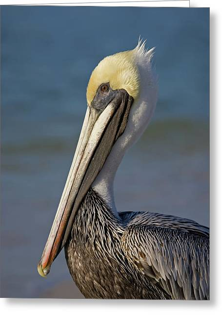 Mr Pelican Greeting Card by Nick  Shirghio