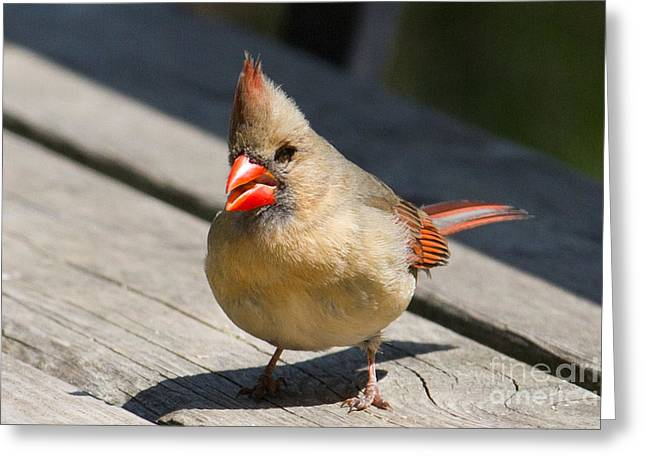Mrs. Cardinal Greeting Card