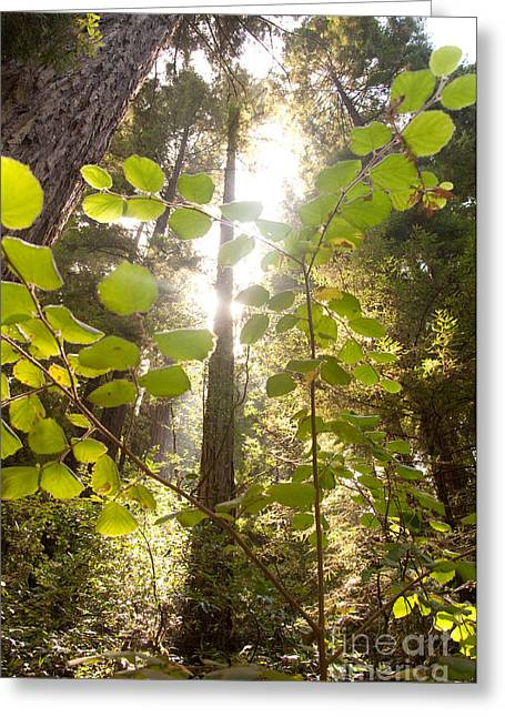 Muir Woods Magic Greeting Card by Rossi Love