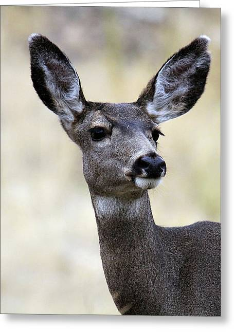 Mule Deer Doe Greeting Card by Steve McKinzie