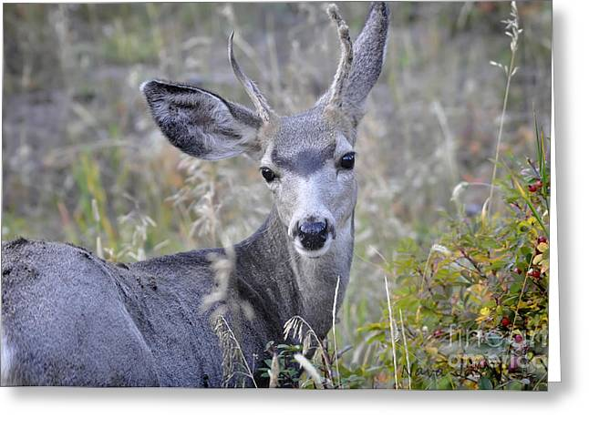 Greeting Card featuring the photograph Mule Deer On Fall River by Nava Thompson