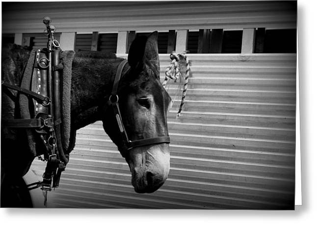 Mule - Tied Up For A While Greeting Card by Travis Truelove