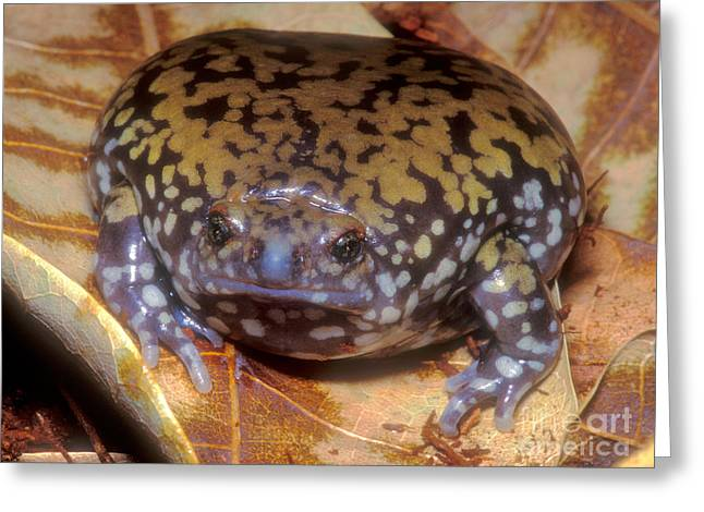 Mullers Termite Frog Greeting Card by Dante Fenolio