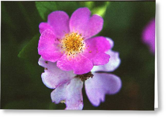 Multiflora Rose Greeting Card by Stephanie Smith