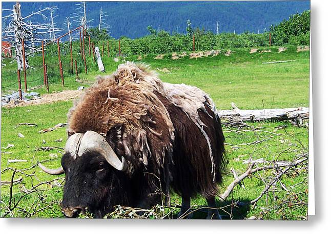 Musk Oxen Greeting Card by Aimee L Maher Photography and Art Visit ALMGallerydotcom