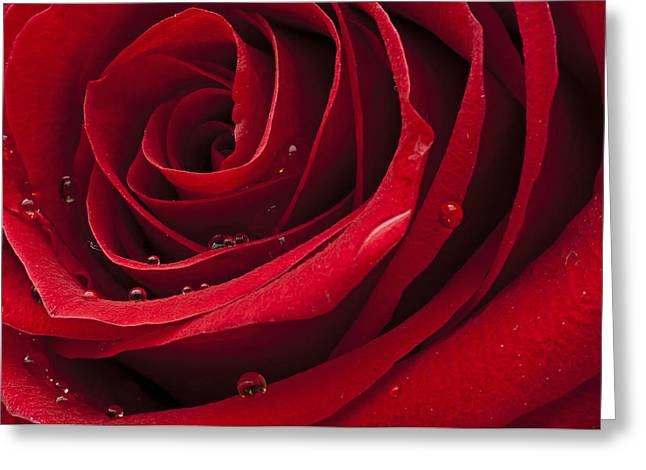 My Rose Greeting Card by Ivan Vukelic