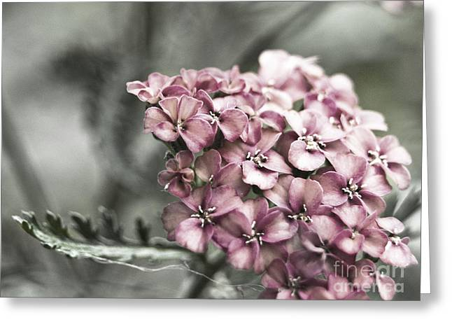 Mystic Yarrow Greeting Card