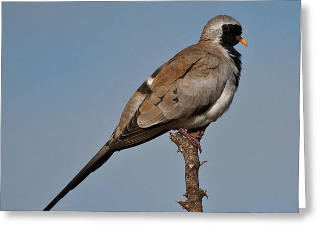Namaqua Dove Greeting Card by Annette Naude
